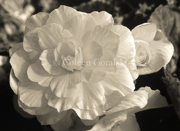 Begonia black and white